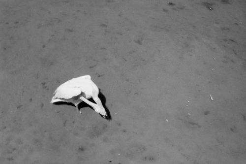 Pelikan, Zoo Bern
